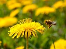 летание пчелы Стоковое Изображение RF
