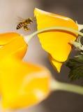 Летание пчелы меда на californica, желтом цвете и апельсине Eschscholzia Стоковые Фотографии RF