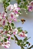 Летание пчелы меда Стоковое фото RF