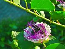 Летание пчелы пчелы в цветке накидки Стоковое Изображение RF