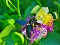 Летание пчелы пчелы в цветке накидки Стоковые Фото