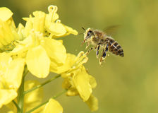Летание пчелы Стоковое Изображение
