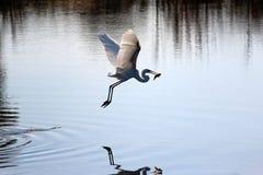 летание рыб egret  Стоковые Фотографии RF