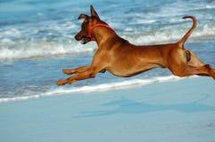 летание собаки Стоковые Изображения RF