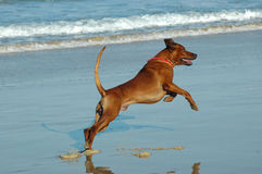 летание собаки Стоковая Фотография