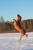 летание собаки Стоковое Фото