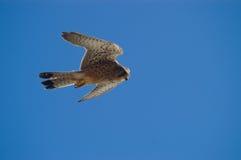 летание сокола стоковое изображение