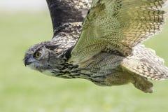 Летание сыча Звероловство хищной птицы Стоковое Изображение RF