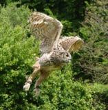 Летание сыча орла [bubo Bubo] Стоковые Фото