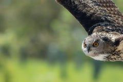 Летание сыча Сельская живая природа сельской местности Хищная птица в полете Стоковые Фотографии RF