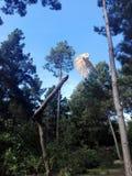 Летание сыча с ветви стоковое фото