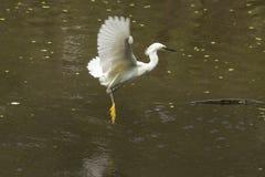 Летание с рыбой в своем счете, Флорида egret Snowy Стоковая Фотография