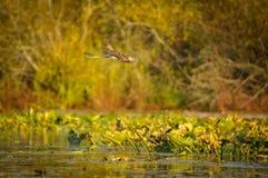 Летание утки в заболоченном месте в заходе солнца Стоковые Изображения