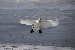 Летание утки Сибиря белое на льде Стоковая Фотография RF