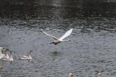 Летание утки Сибиря белое на льде Стоковые Изображения RF