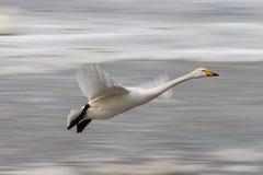 Летание утки Сибиря белое на льде Стоковые Изображения