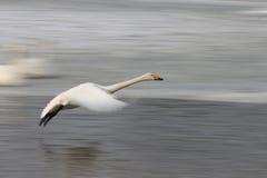 Летание утки Сибиря белое на льде Стоковое Изображение RF