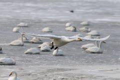 Летание утки Сибиря белое на льде Стоковое фото RF