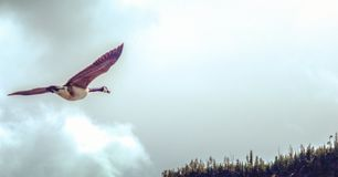 Летание утки через небо Стоковое Фото