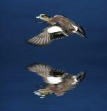 летание утки Стоковое Изображение RF