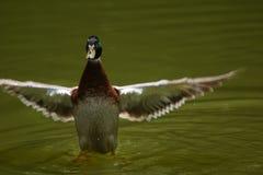 Летание утки стоковое фото