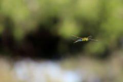 Летание уловленное Dragonfly в среднем воздухе стоковая фотография