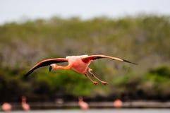 Летание фламинго в прошлом в Галапагос Стоковое Изображение RF