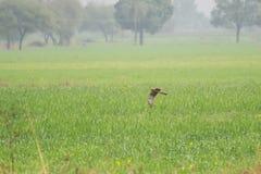 Летание харриера Montagu над пшеничным полем стоковое фото rf