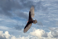 Летание хищника канюка в темносинем небе Стоковая Фотография RF