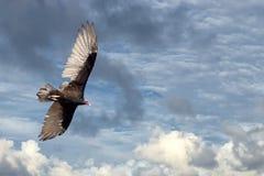 Летание хищника канюка в темносинем небе Стоковое Изображение