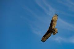 Летание хищника канюка в темносинем небе Стоковые Изображения RF