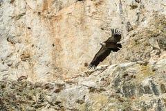 Летание хищника Griffon стоковая фотография rf