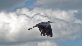 Летание цапли стоковая фотография rf