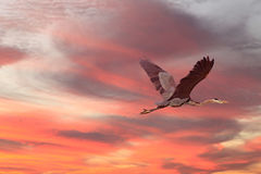 Летание цапли большой сини на заходе солнца Стоковые Фото