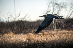 Летание цапли большой сини через болото Стоковое фото RF