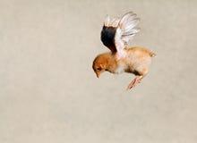 летание цыпленка стоковое фото