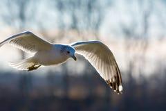 Летание чайки в ветре стоковая фотография