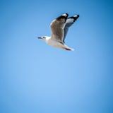 Летание чайки в голубом небе Стоковые Фотографии RF