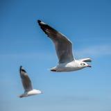 Летание чайки в голубом небе Стоковые Фото