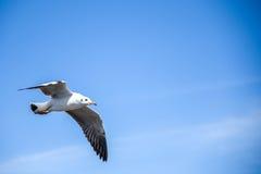 Летание чайки в голубом небе Стоковые Изображения RF