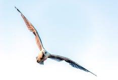 Летание чайки в камеру Стоковое Фото