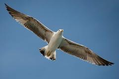 Летание чайки в красивом небе Стоковые Изображения
