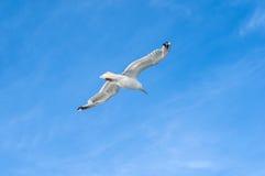 Летание чайки в небе Стоковое Фото