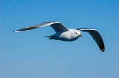 Летание чайки в небе Стоковые Изображения