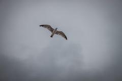 Летание чайки в сером небе Стоковые Фотографии RF