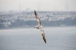 Летание чайки в Стамбуле стоковые фотографии rf