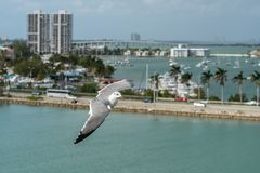 Летание чайки над Майами, Флоридой стоковые изображения
