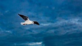 Летание чайки над океаном стоковые фото