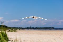 Летание чайки над пляжем стоковое фото