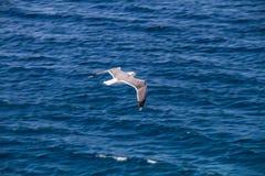 Летание чайки над поверхностью моря стоковое изображение